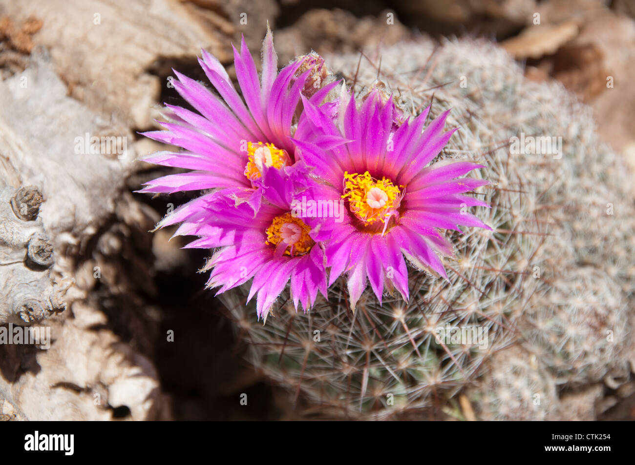 Hedgehog Cactus Pink Flowers Stock Photos Hedgehog Cactus Pink