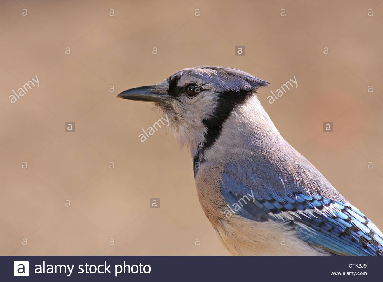 Blue Jay close up Profile Stock Photo