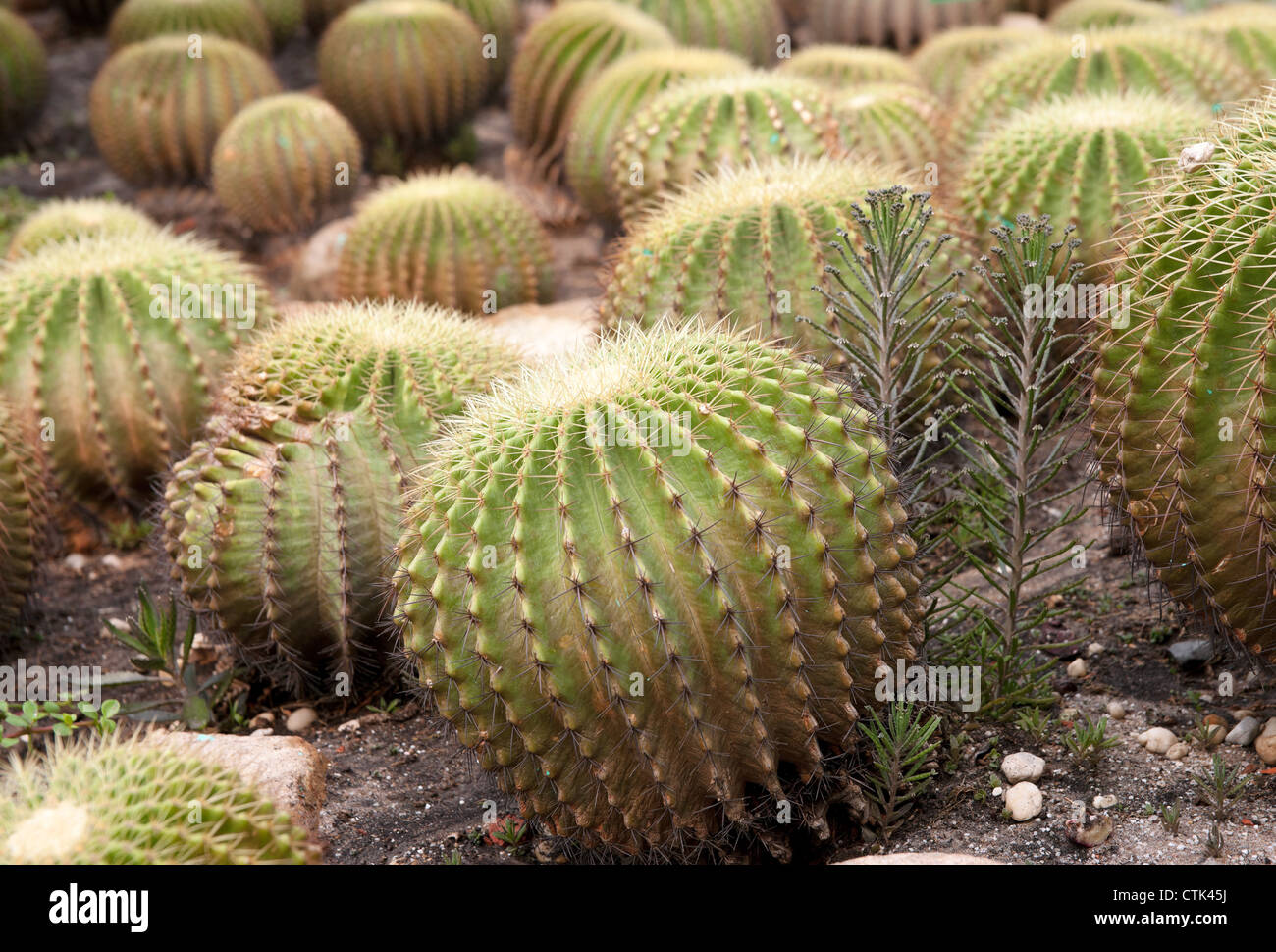 great image of some prickly cacti cactus plants - Stock Image