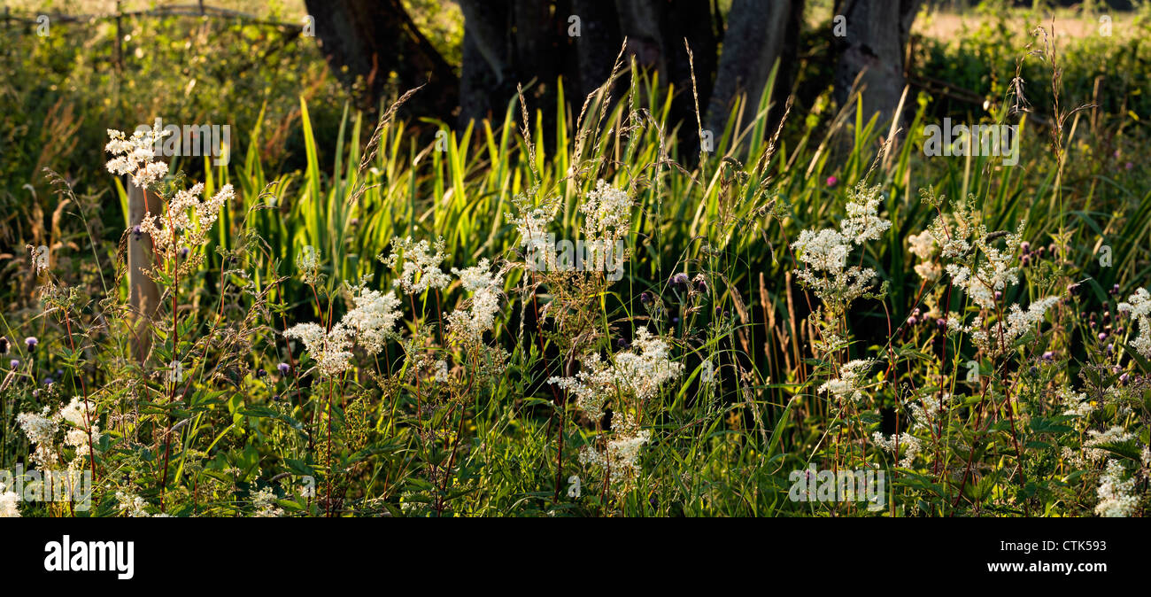 Meadowsweet and grass with backlighting - Stock Image