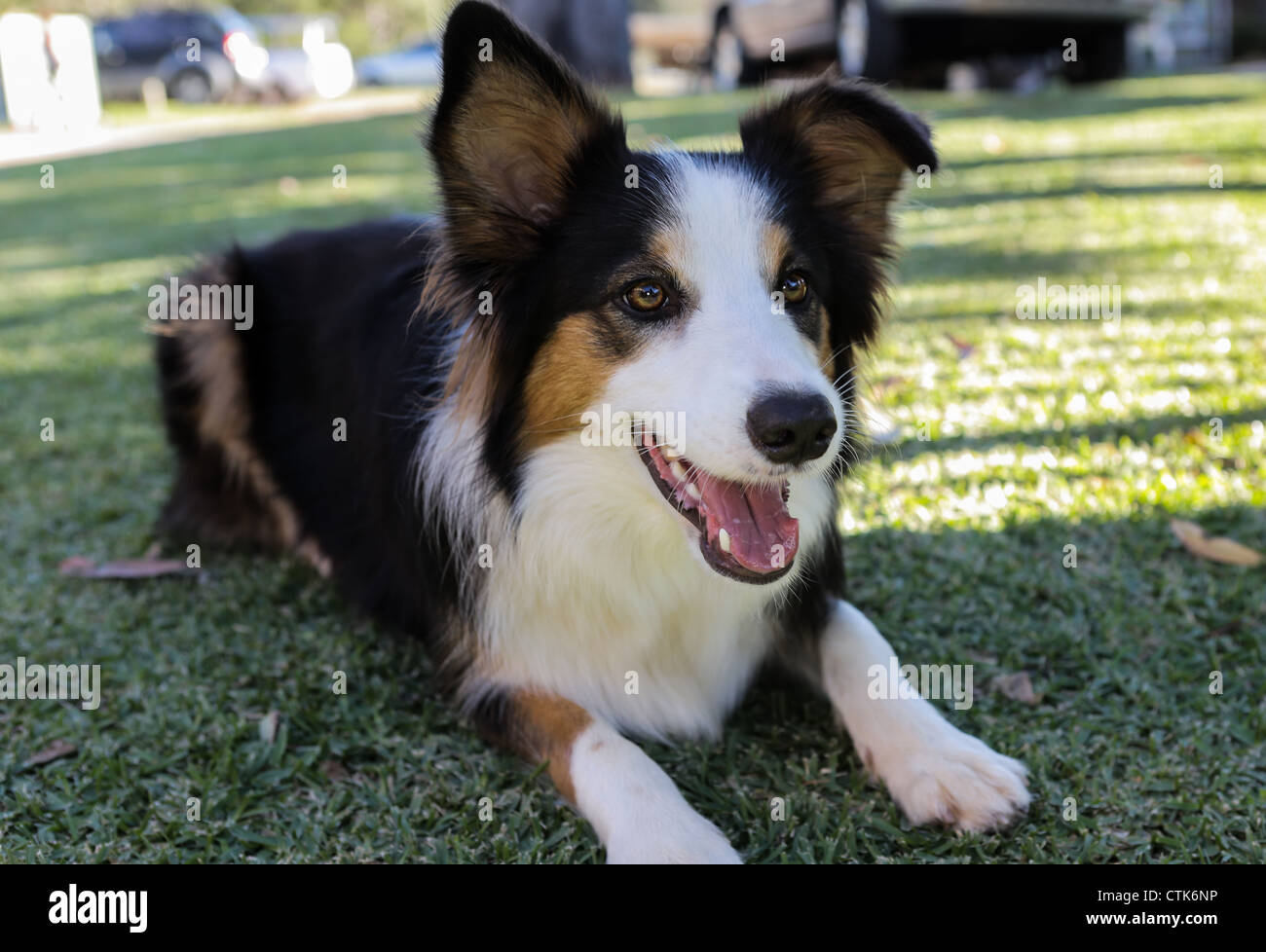 boarder collie dog lies on the grass - Stock Image