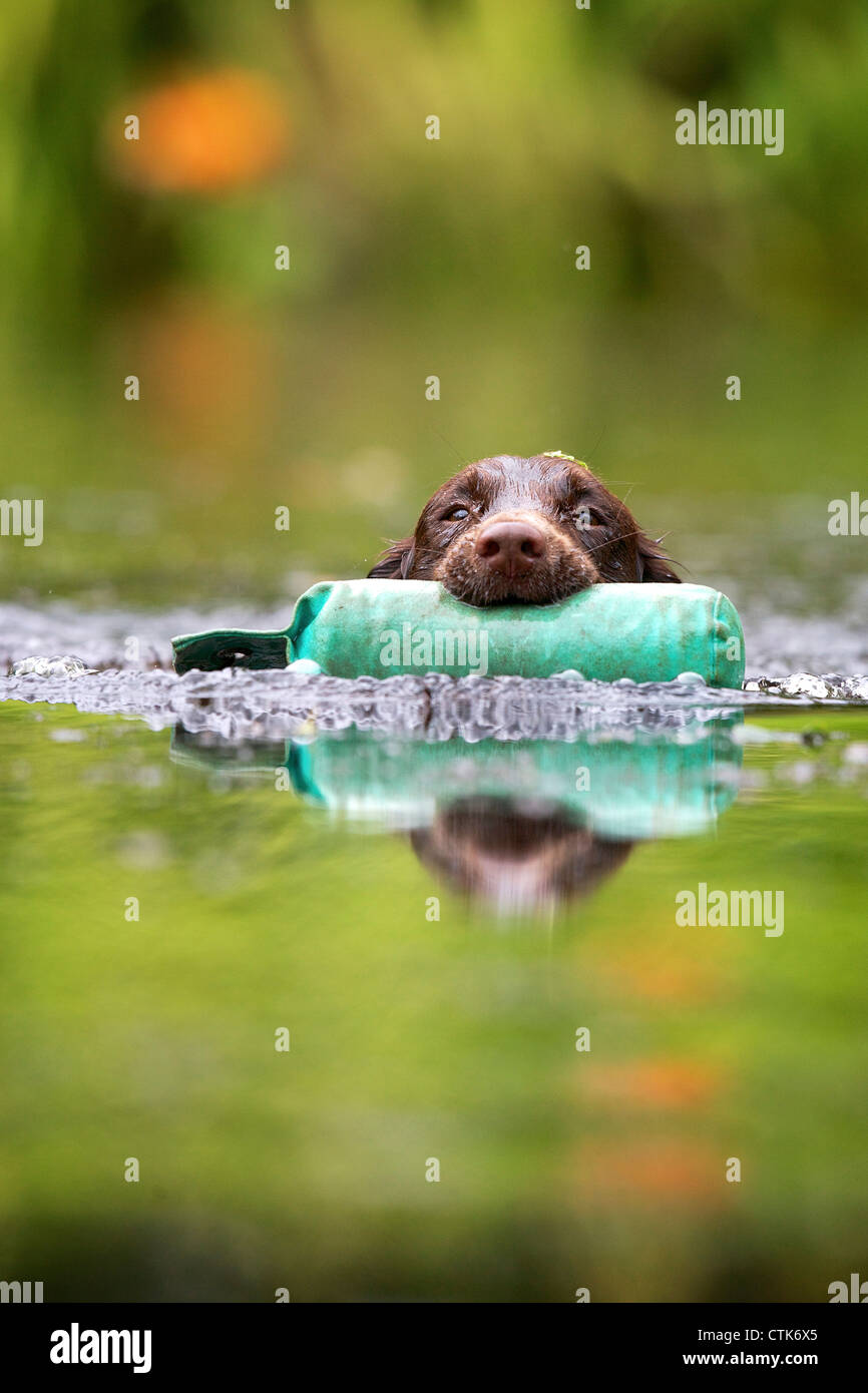 Cocker spaniel retrieving a training dummy from water - Stock Image