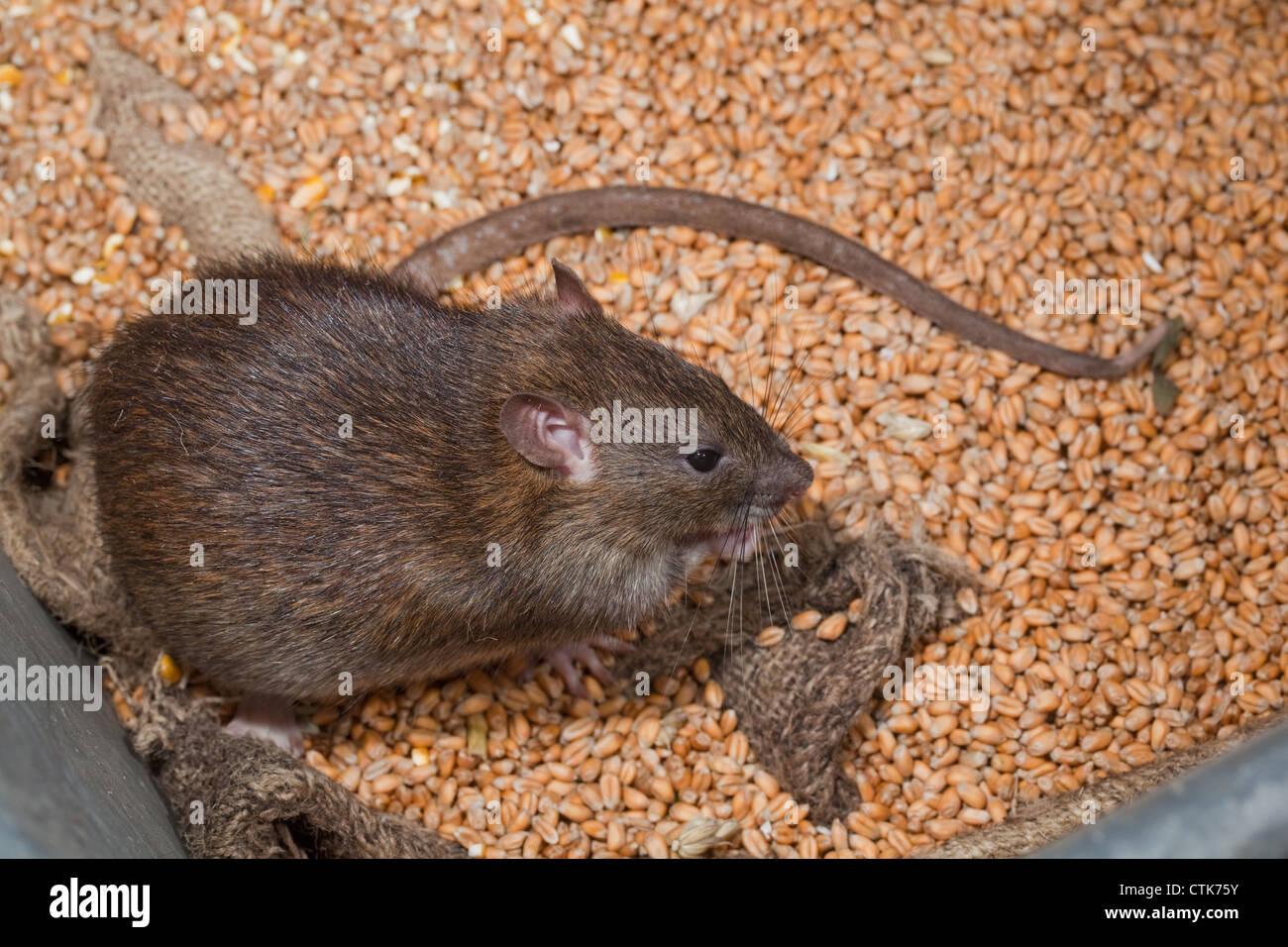 Brown Rat (Rattus norvegicus). Living amongst hessian bagged grain. - Stock Image