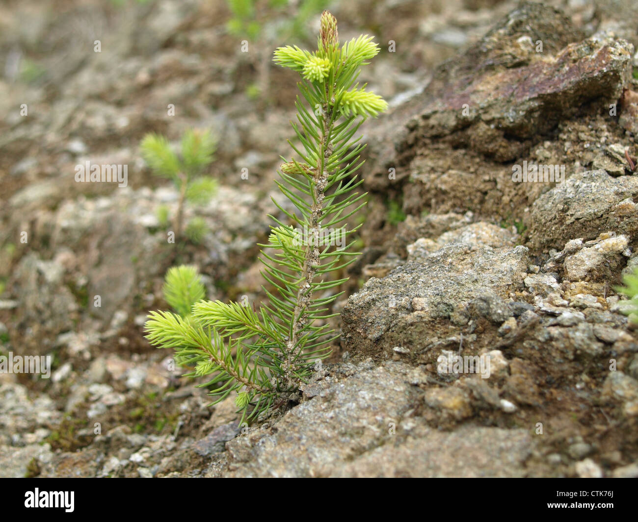 young spruce on stony ground / junge Fichte auf steinigem Boden - Stock Image