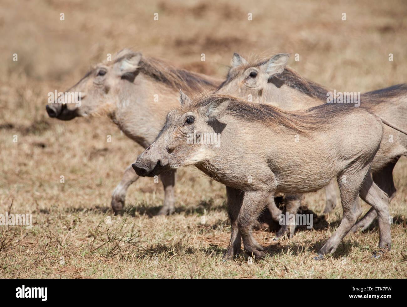 Warzenschweine im Addo Elephantpark, Südafrika - Stock Image
