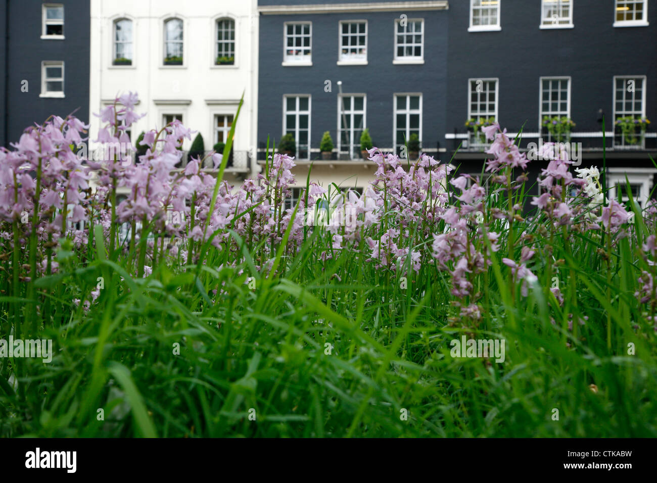 Bluebells growing in Berkeley Square, Mayfair, London, UK - Stock Image