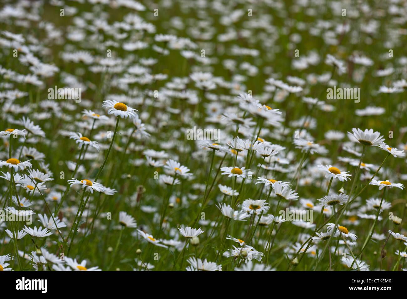 Oxeye Daisy (Leucanthemun vulgare). Sheringham, Norfolk. Stock Photo