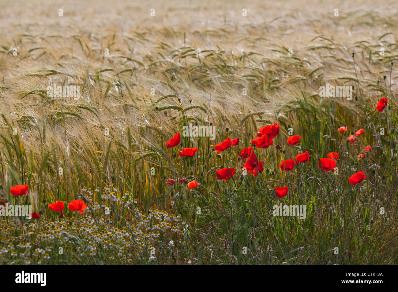 Poppy (Papaver rhoeas). Growing on perimeter of a nearly ripe barley crop. Norfolk. - Stock Photo