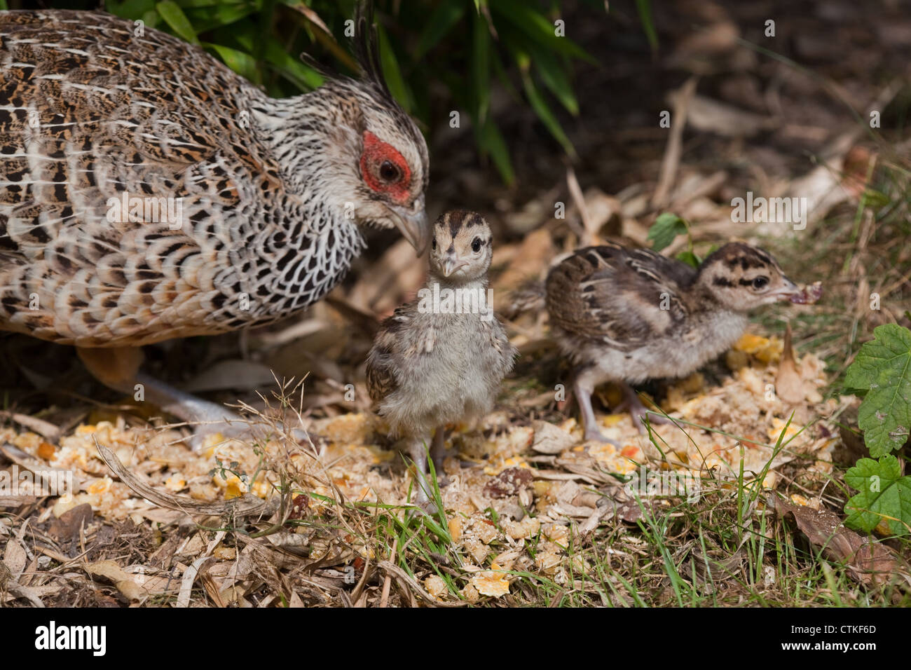 Cheer Pheasant  or Wallich's Pheasant (Catreus wallichii). Hen and chicks. - Stock Image