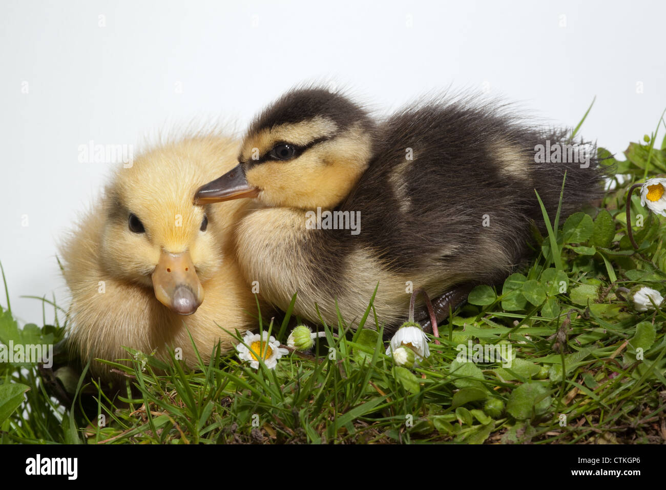 Ducklings (Anas platyrhynchos). Siblings, from same clutch of eggs and parentage, producing 'normal' colour - Stock Image