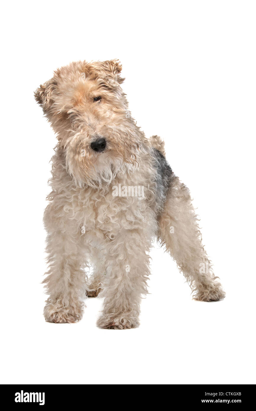 Wire fox terrier in front of a white background Stock Photo ...