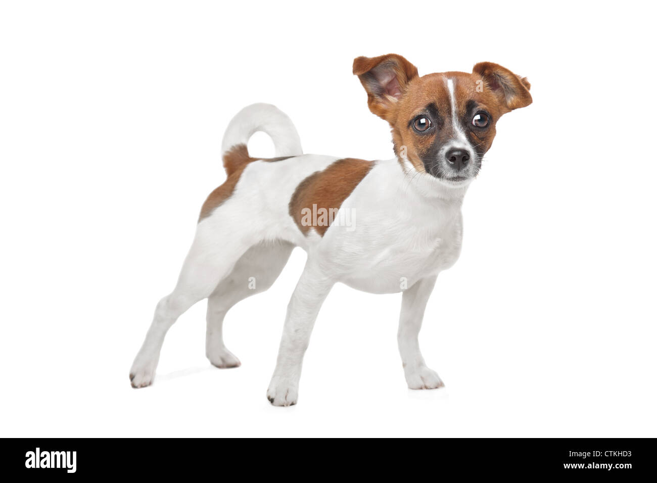 Mixed breed dog. Chihuahua and Jack Russel Terrier mix - Stock Image