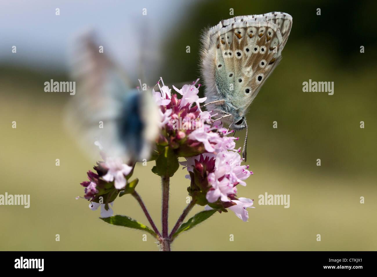 Chalkhill blue butterflies (Lysandra coridon) on marjoram. Surrey, UK. - Stock Image