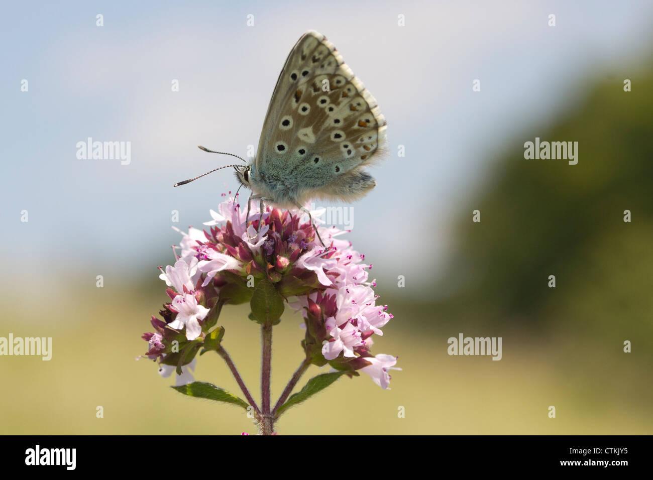 Chalkhill blue butterfly (Lysandra coridon) on marjoram. Surrey, UK. - Stock Image