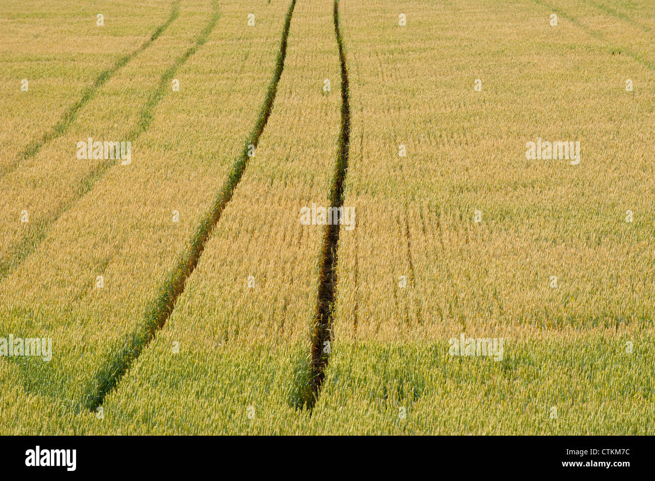Large field with wheat with tractor tracks leading to the horizon - Stock Image