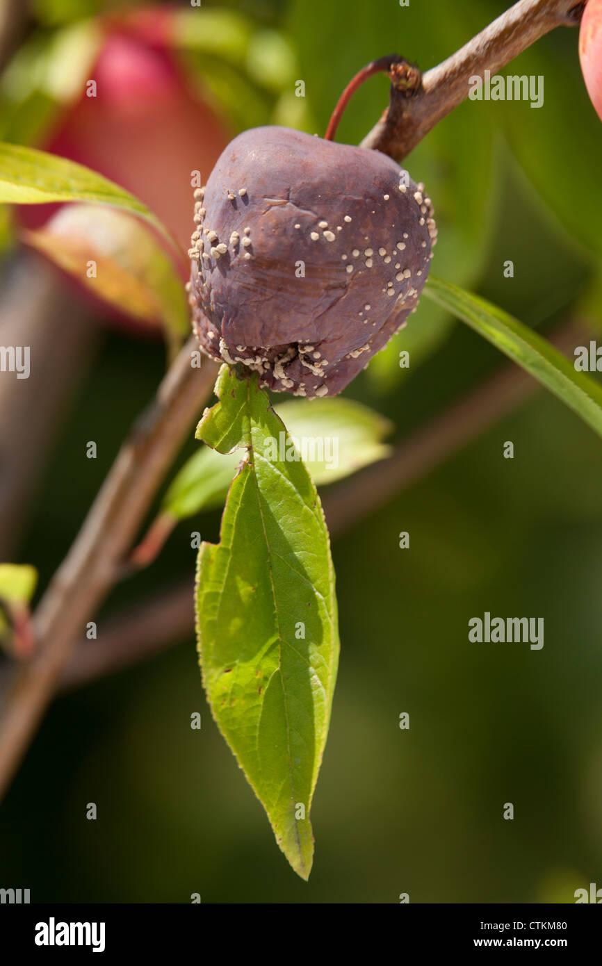rotton plum on tree with yeast growth Plum Lizzie - Prunus domestica - Stock Image