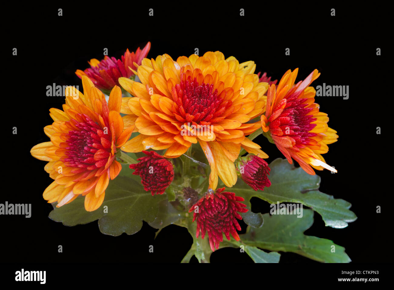 Chrysanthemum flowers isolated on a black background - Stock Image