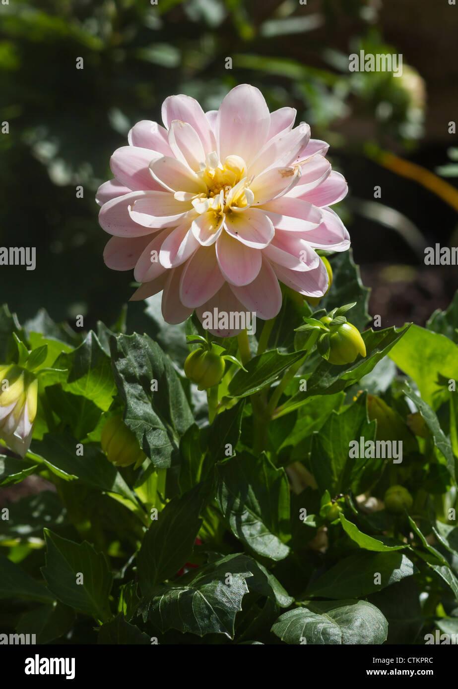 A beautiful pink Dahlia flower close up - Stock Image