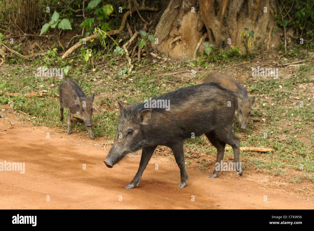 Wild boars on road, Yala National Park, Sri Lanka - Stock Image