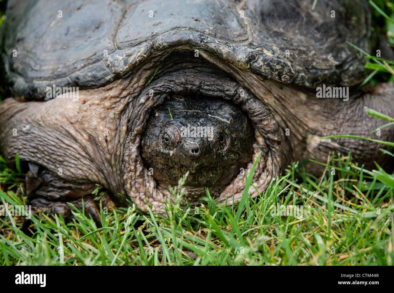 Large turtle - Stock Image
