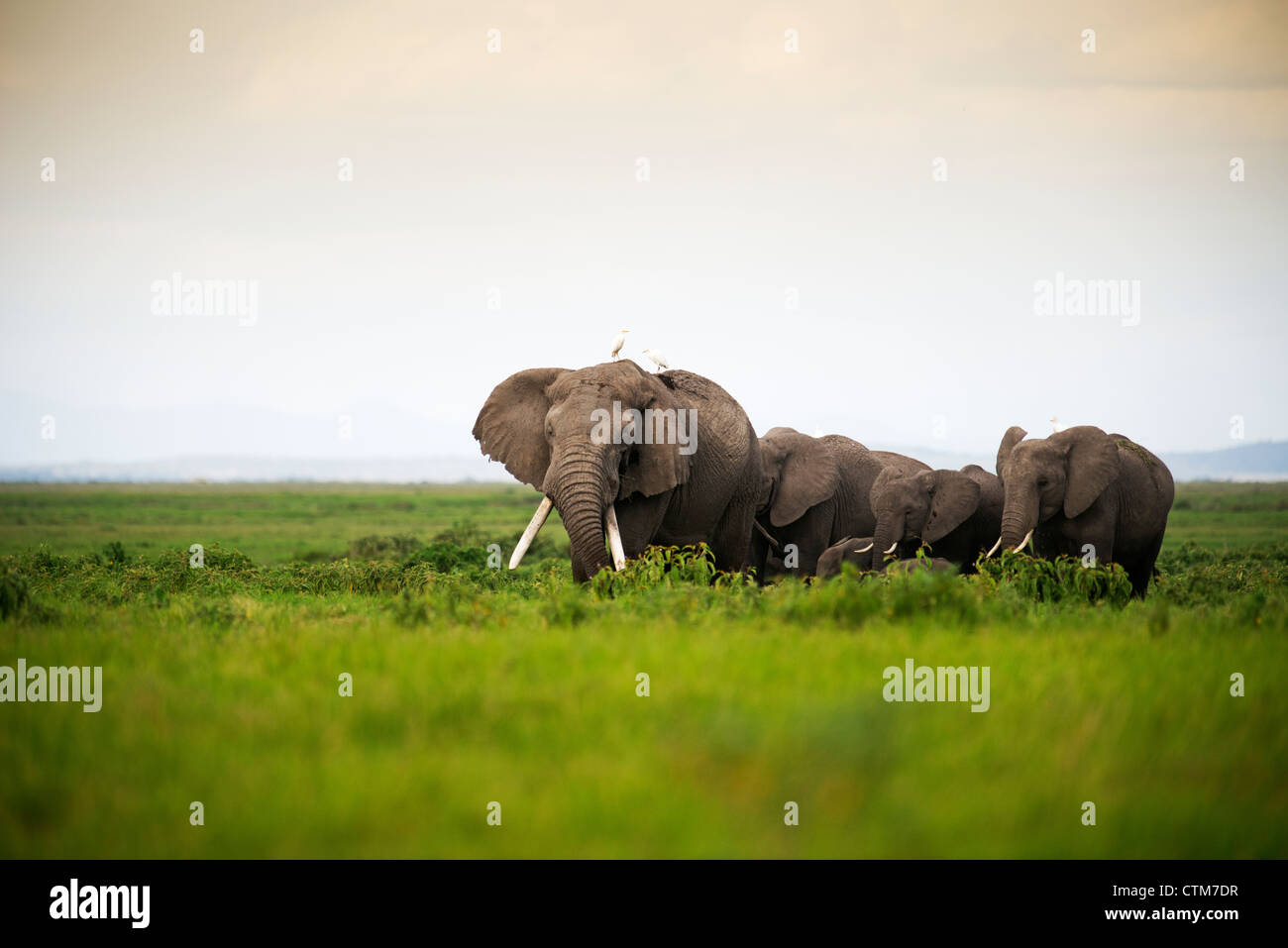 African Elephant herd at sunset in Amboseli National Park, Kenya - Stock Image