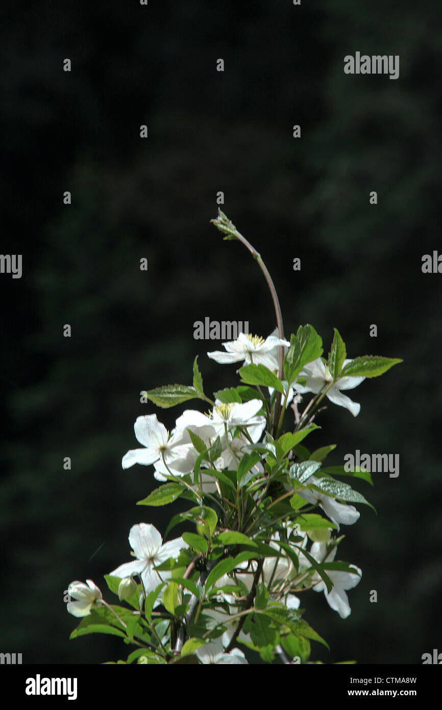 A cluster of flowers stock photos a cluster of flowers stock bunch of white flowers on a tender shoot stock image izmirmasajfo