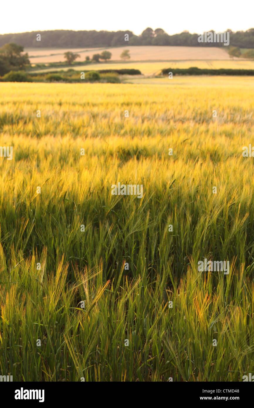 Wheat field in evening sunshine Mendip Hills Somerset UK taken July 2012 - Stock Image