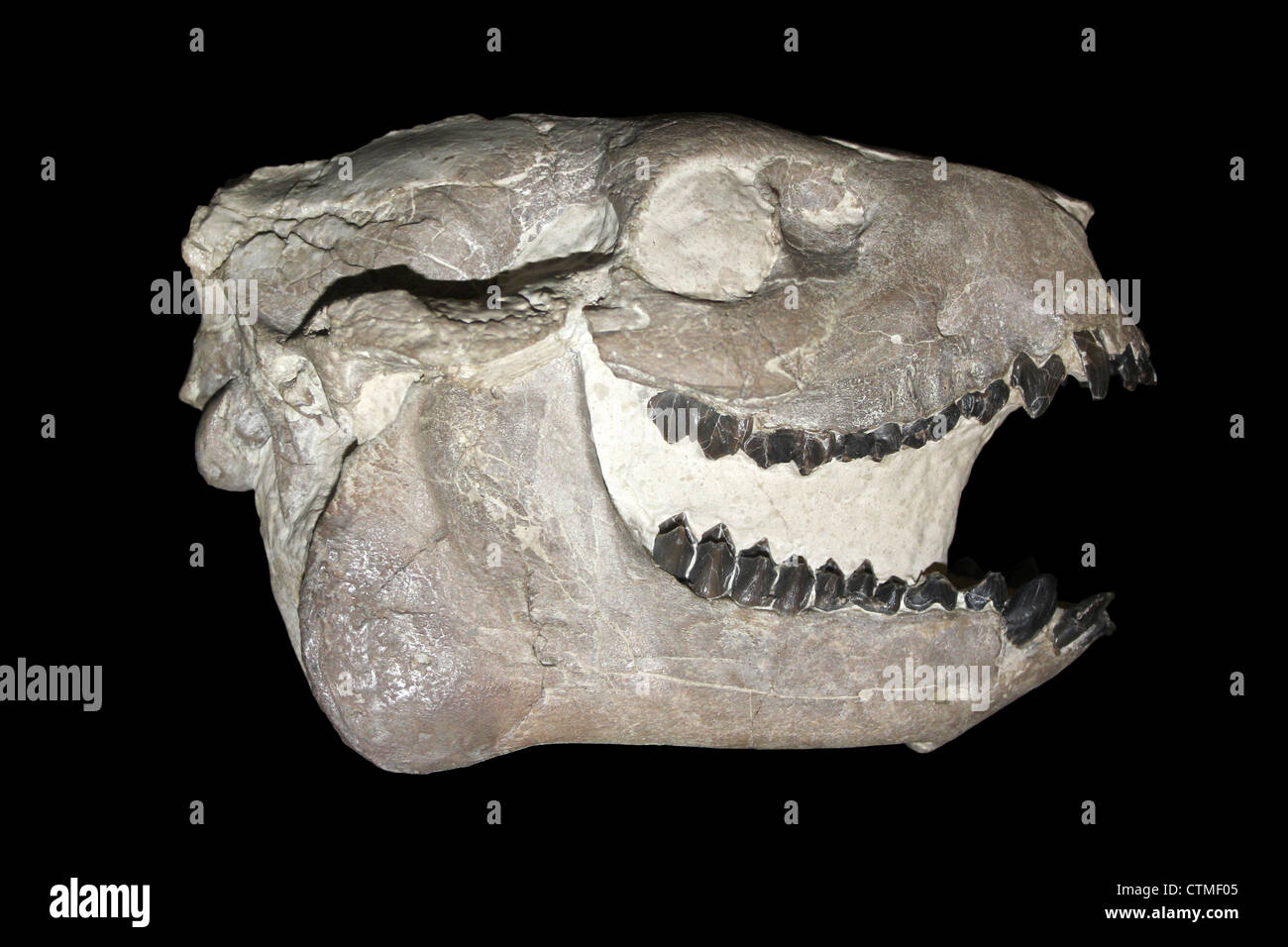 Oreodont Skull Chile - Stock Image