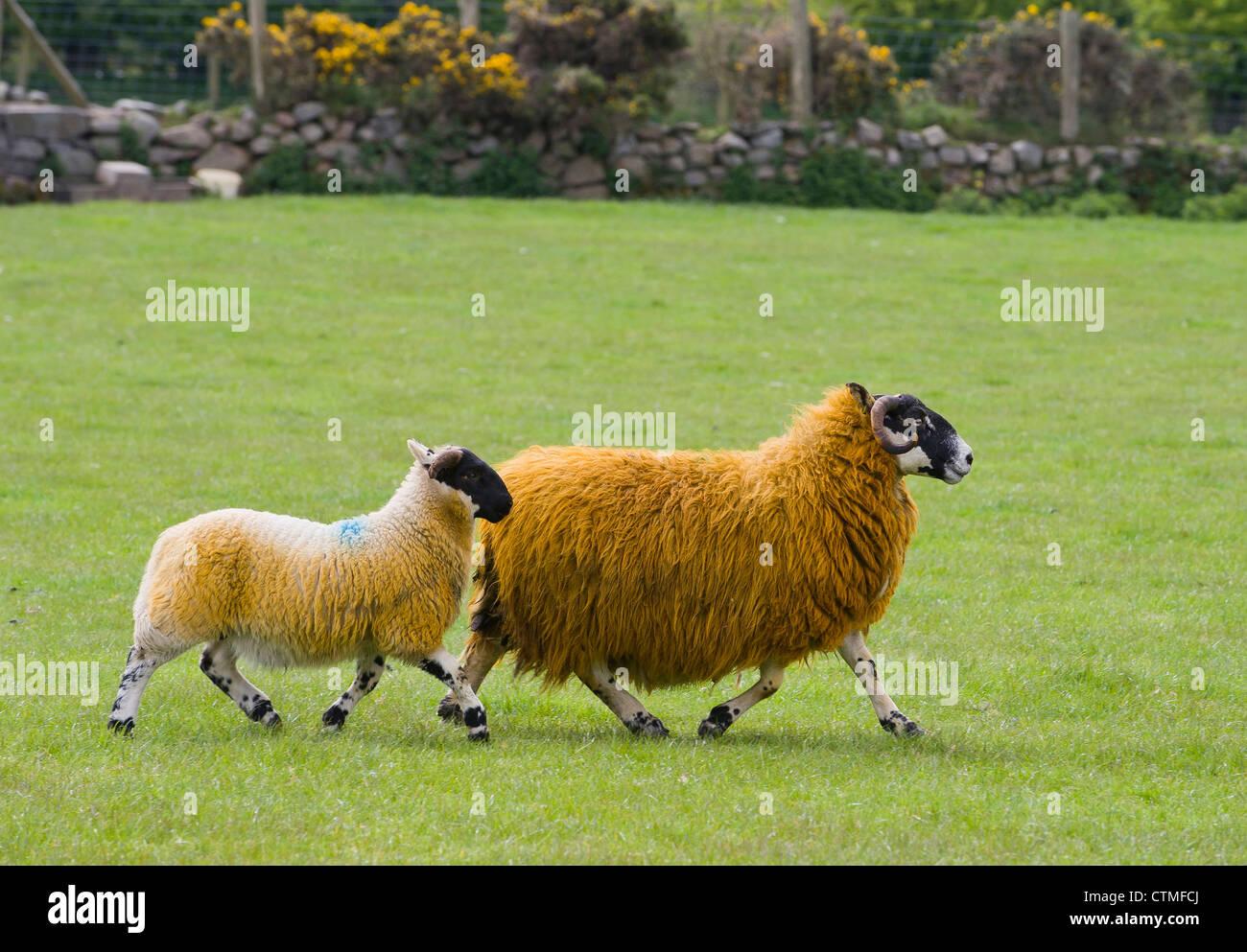 Black Faced Mountain Sheep - Stock Image