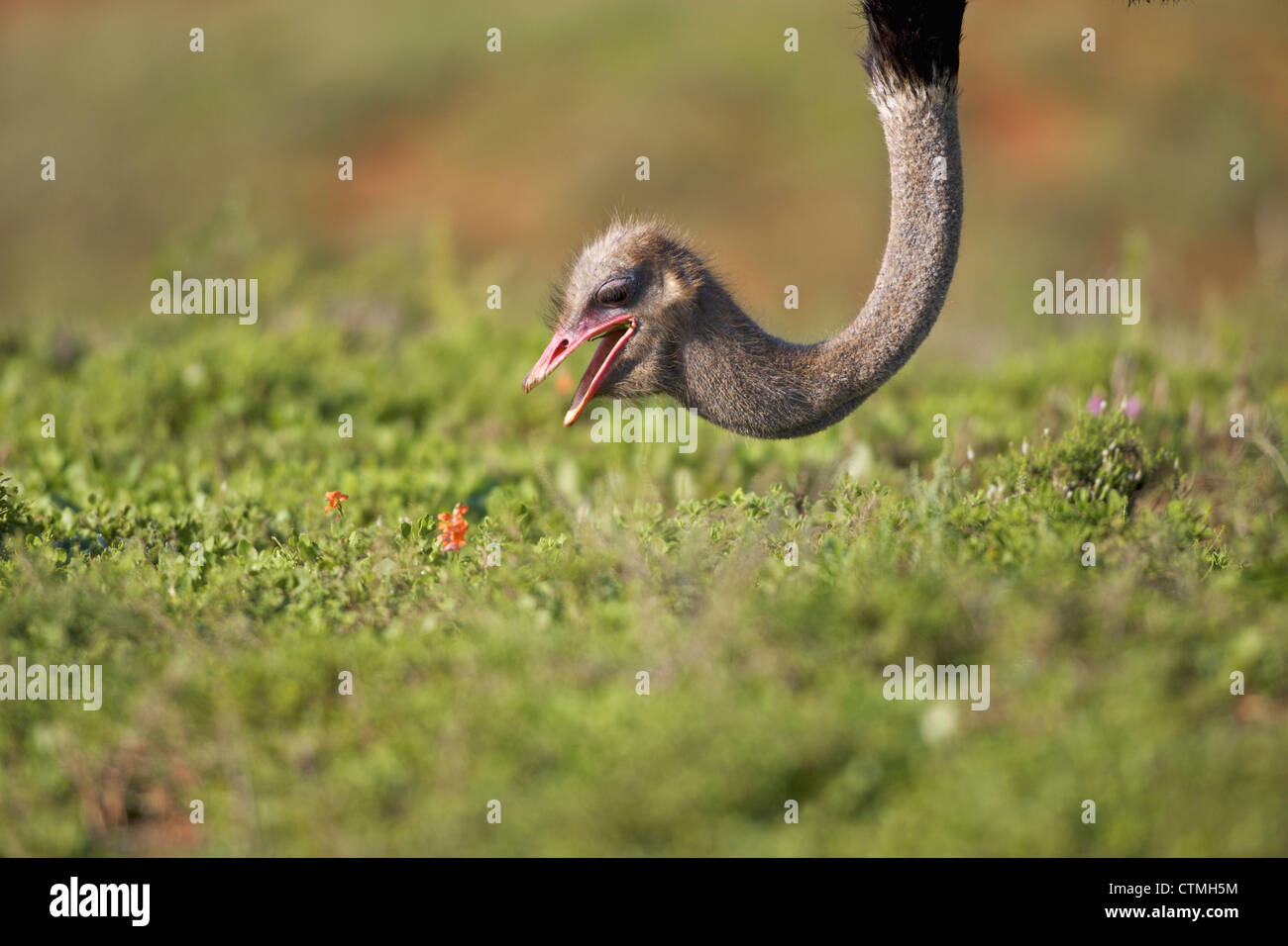 Close-up of an Ostrich, Addo Elephant National Park, Eastern Cape Province, South Africa Stock Photo