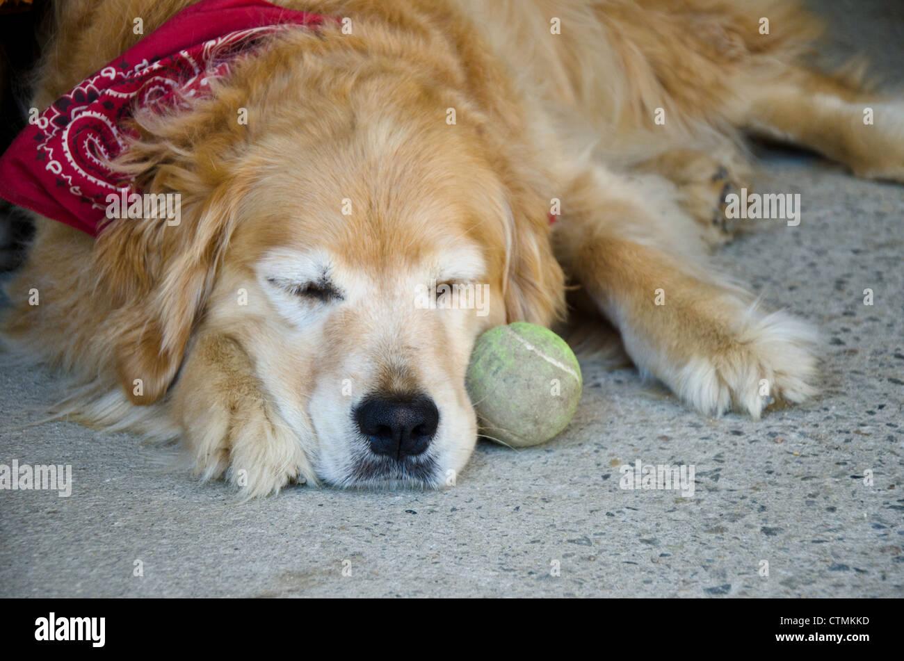Golden retriever dog with red bandana sleeping beside tennis ball, Maine USA - Stock Image