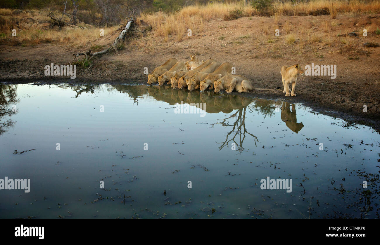 A pride of Lions drinking from a watering hole, Pondoro Game Lodge, Balule Private Nature Reserve, Limpopo. South - Stock Image