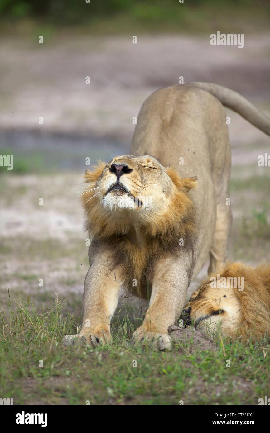 A Lion stretching, Okavango Delta, Botswana - Stock Image