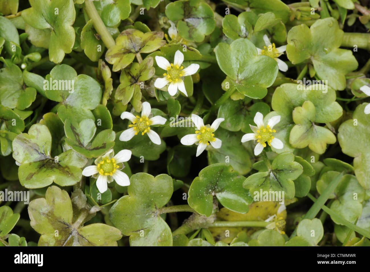 IVY-LEAVED CROWFOOT Ranunculus hederaceus (Ranunculaceae) - Stock Image