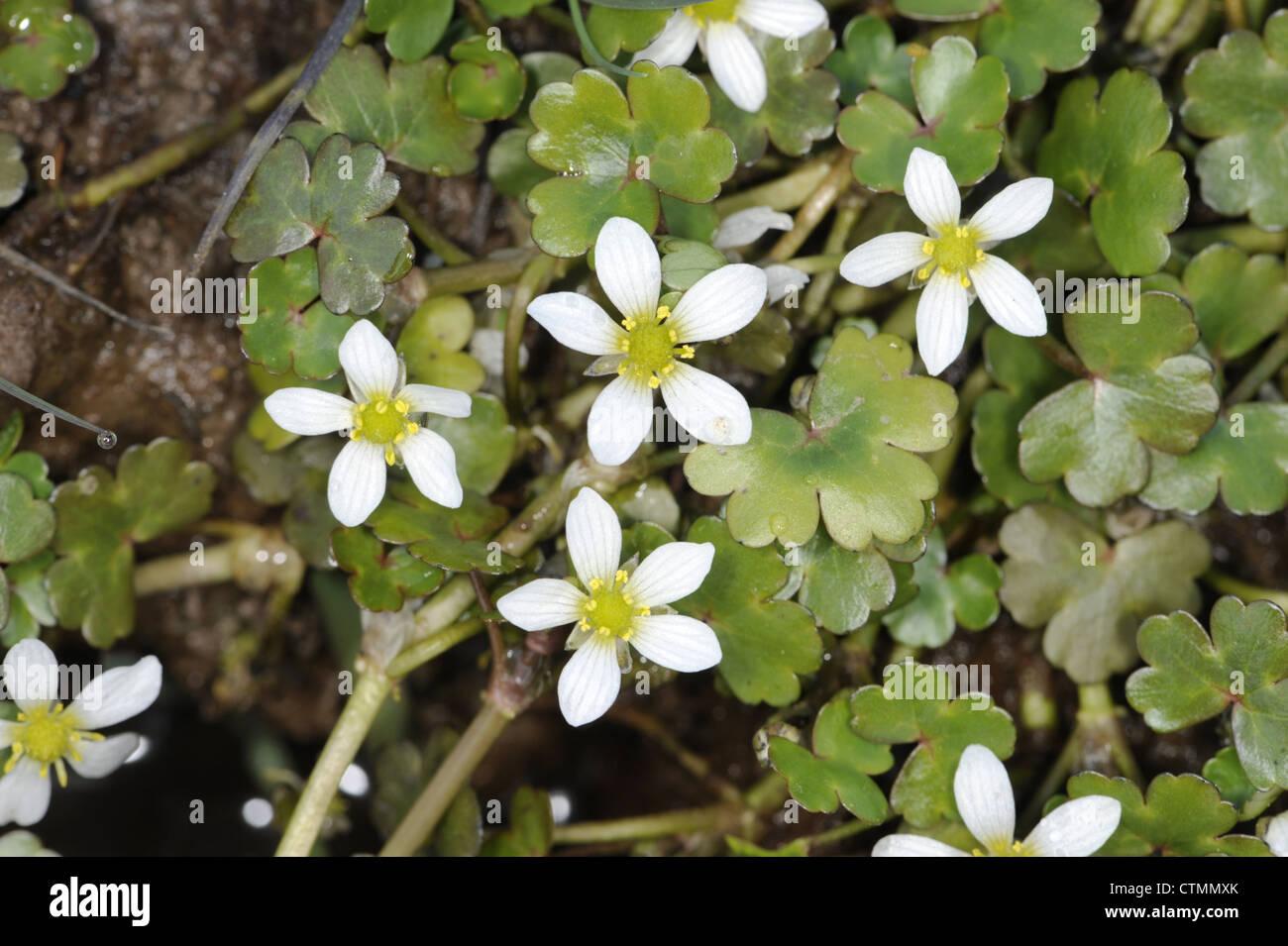 ROUND-LEAVED CROWFOOT Ranunculus omiophyllus (Ranunculaceae) - Stock Image