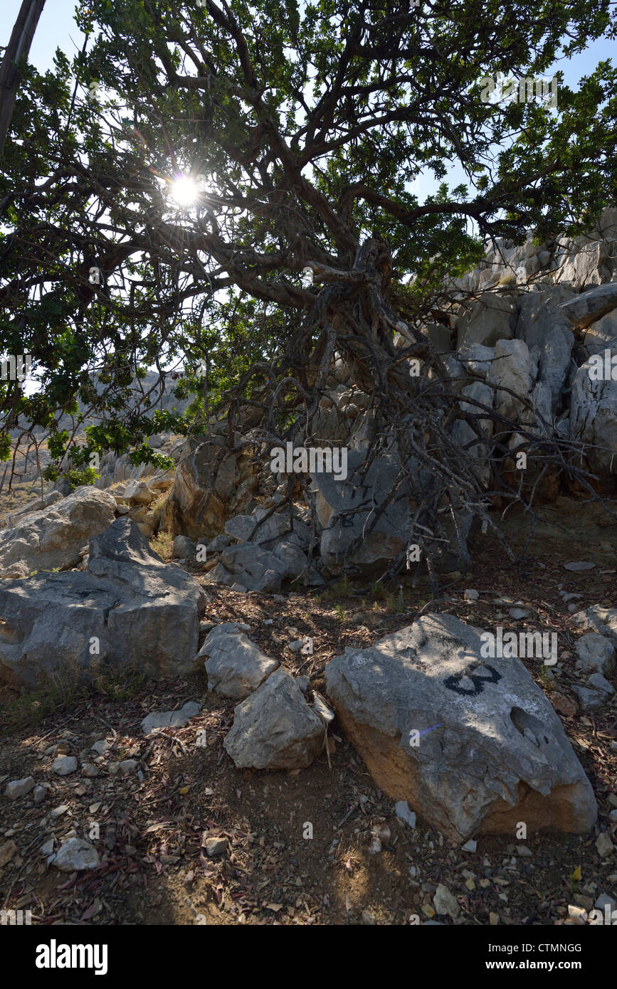 An old, gnarled and sunbaked tree in the village of Nimborios, with the sun just behind it; Symi, Dodecanese. Greece. - Stock Image