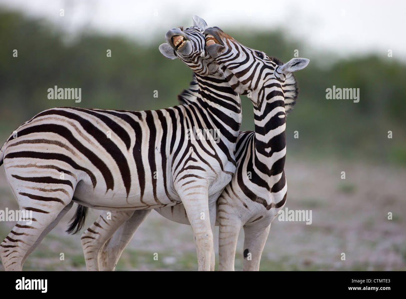 Two Plains Zebra fighting, Etosha National Park, Etosha, Namibia - Stock Image