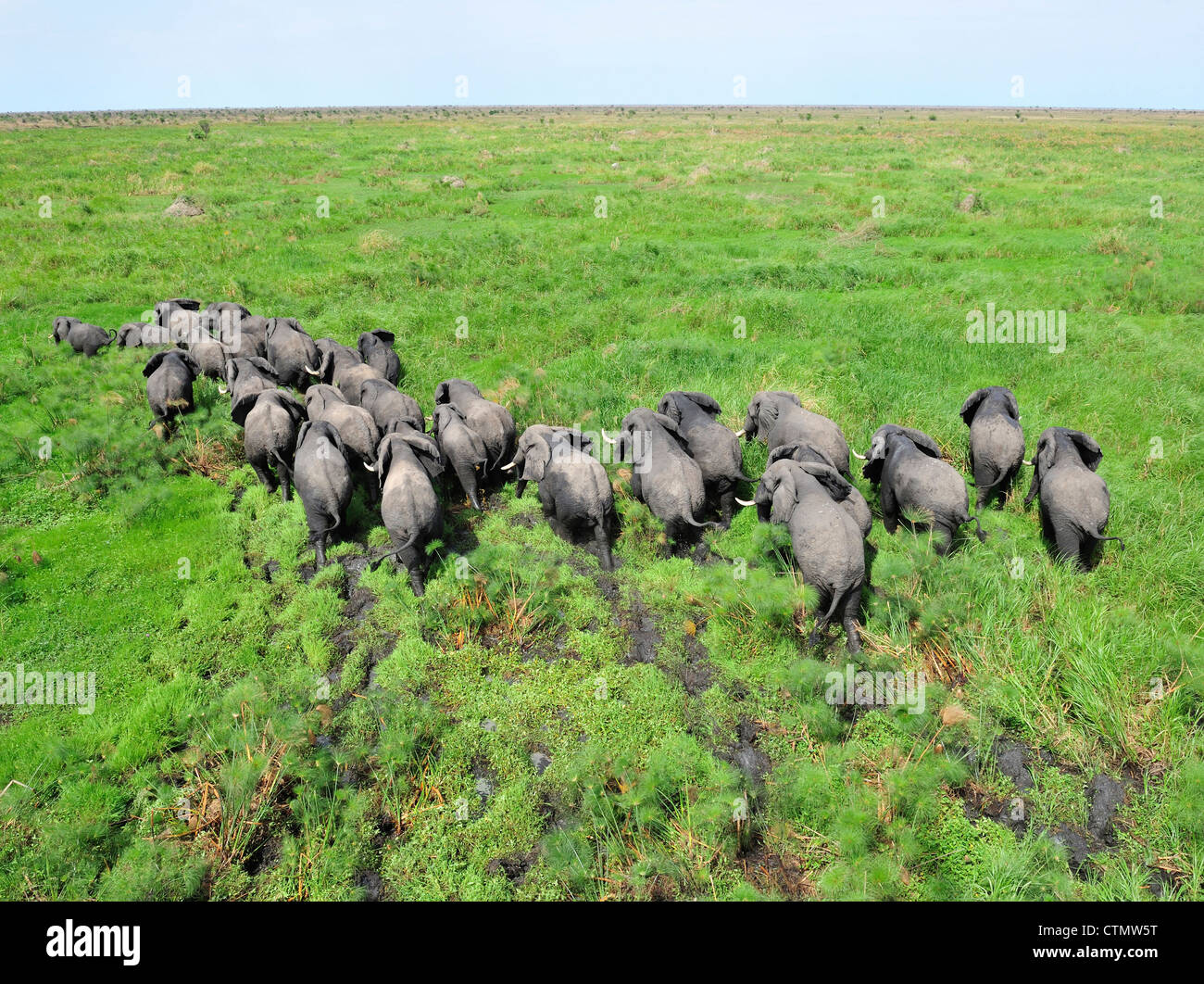 Elephant herd in swampland, Shambe Game Reserve west of the Nile, Republic of South Sudan - Stock Image
