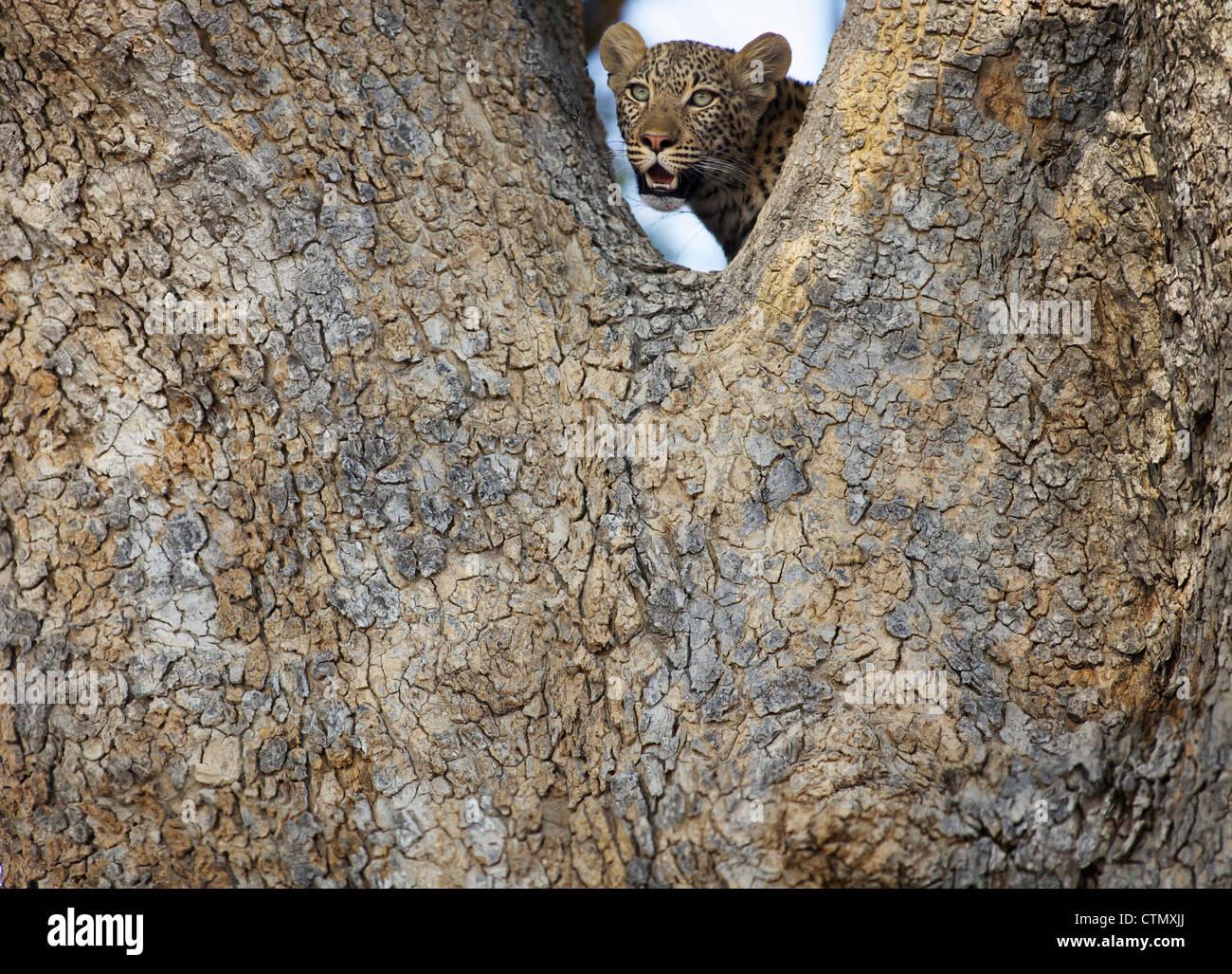A Leopard in a tree, Okavango Delta, Botswana - Stock Image