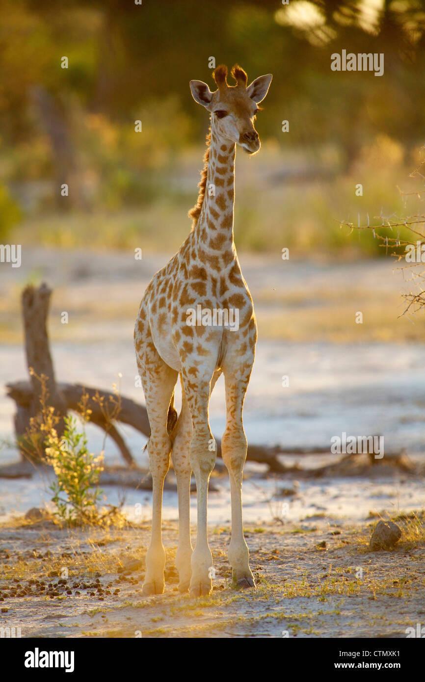 A full length view of a young Giraffe, Okavango Delta, Botswana - Stock Image