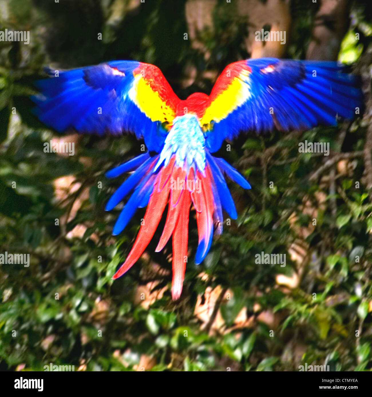 A scarlet macaw takes flight - Stock Image