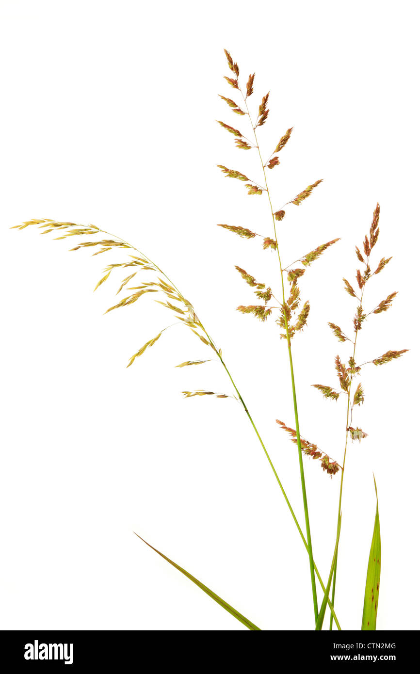 Brome grass on white background - Stock Image