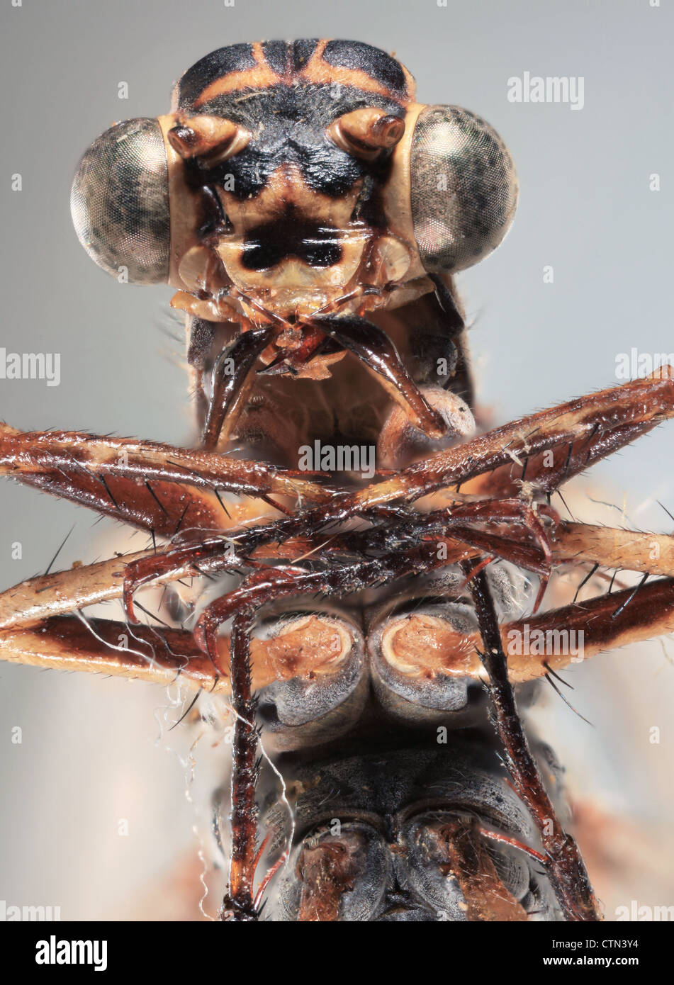 Ultra Macro frontal shoot of a brown dragonfly - Stock Image