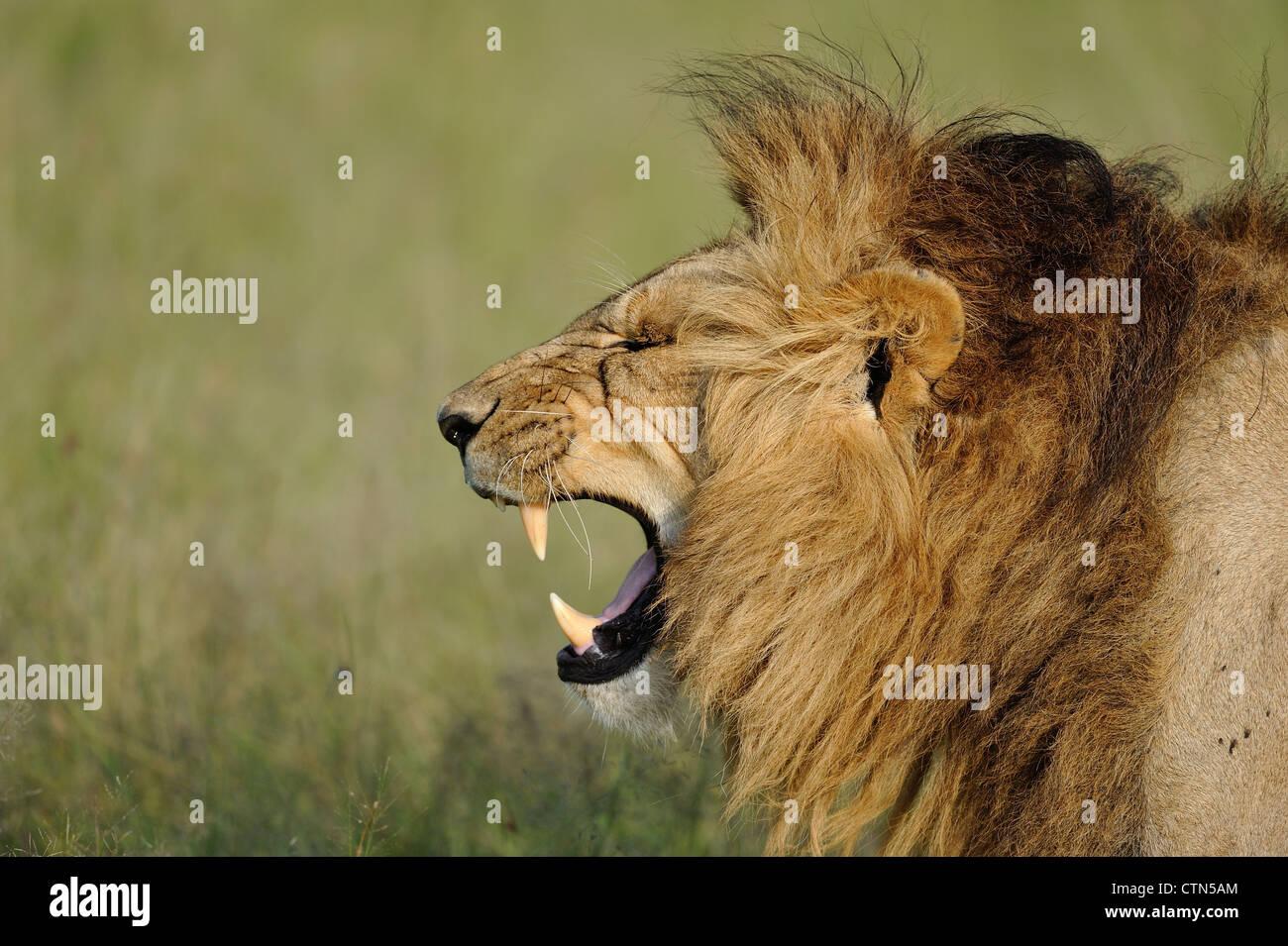 East African lion - Massai lion (Panthera leo nubica) male grimacing when yawning Masai Mara - Kenya - East Africa - Stock Image
