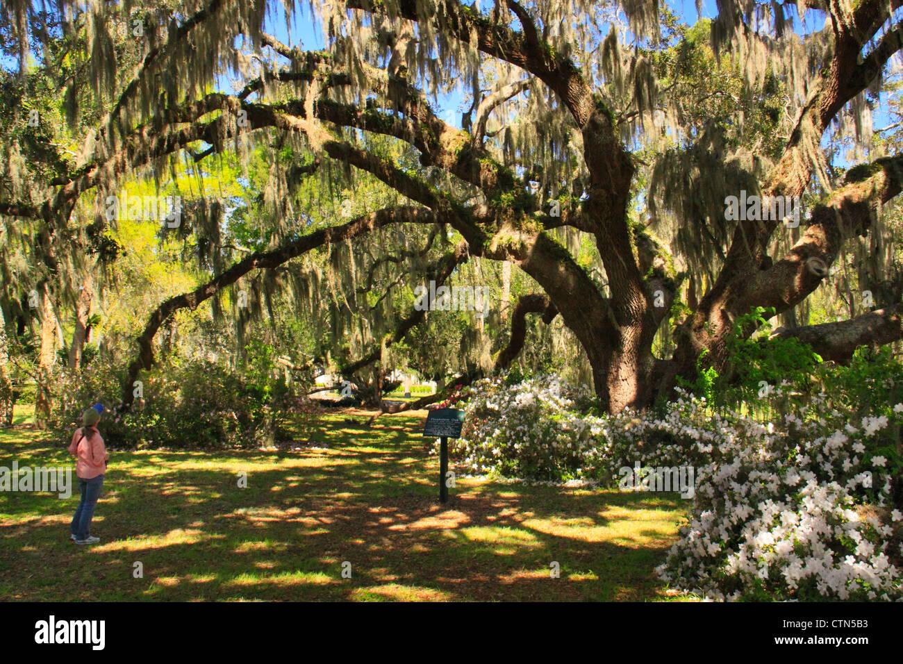 Plantation Oak, Historic District, Jekyll Island, Georgia, USA - Stock Image