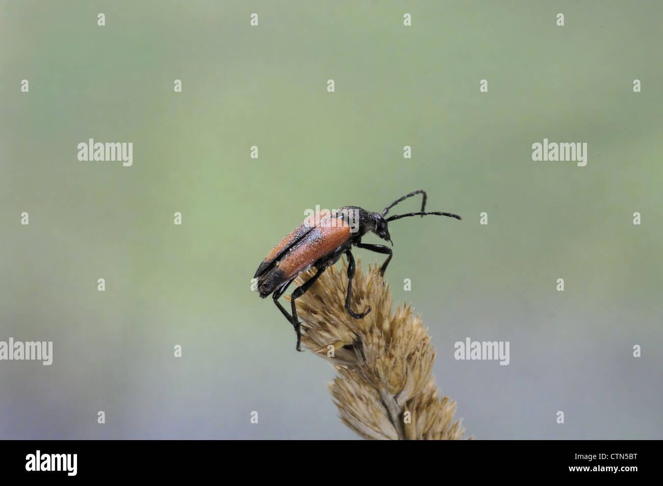 Longhorn beetle (Stictoleptura cordigera - Leptura cordigera - Corymbia cordigera - Brachyleptura cordigera) male Stock Photo