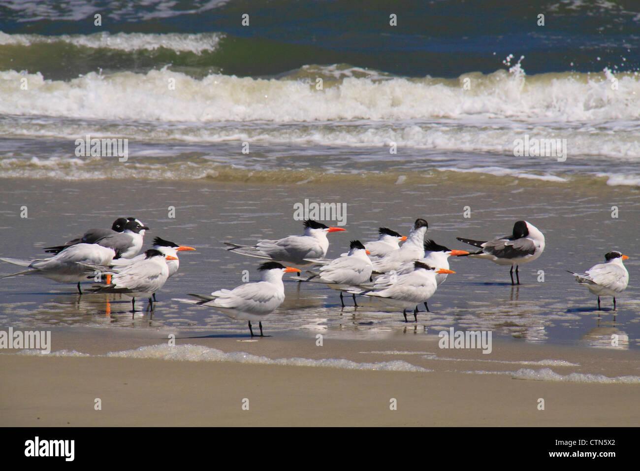 Birds on the Southern Beach; Cumberland Island National Seashore; Georgia; USA - Stock Image