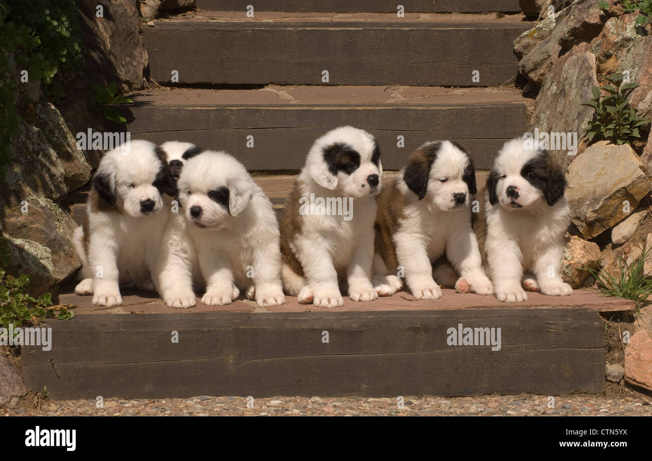 St Bernard Dogs Stock Photos & St Bernard Dogs Stock Images