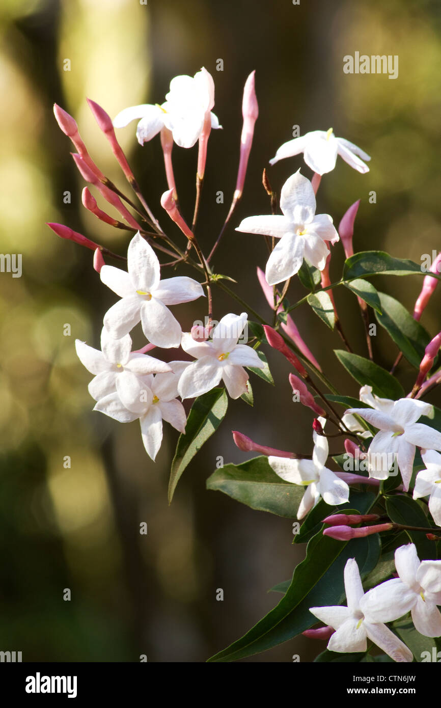 Pink Jasmine Jasminum Polyanthum Plant And Flowers Stock Photo