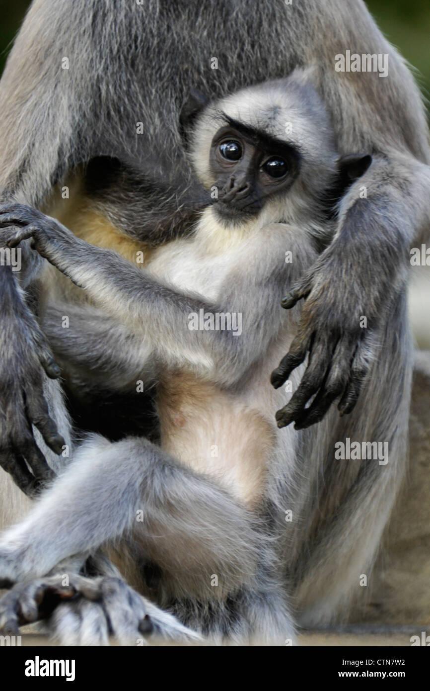 Hanuman Langur Pdf